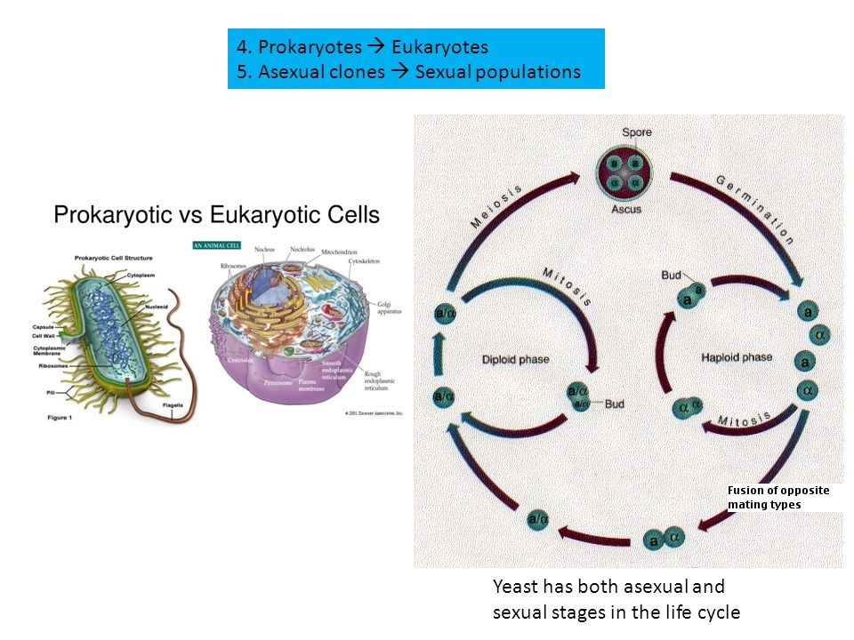4. Prokaryotes  Eukaryotes 5. Asexual clones  Sexual populations Yeast has both asexual and sexual stages in the life cycle