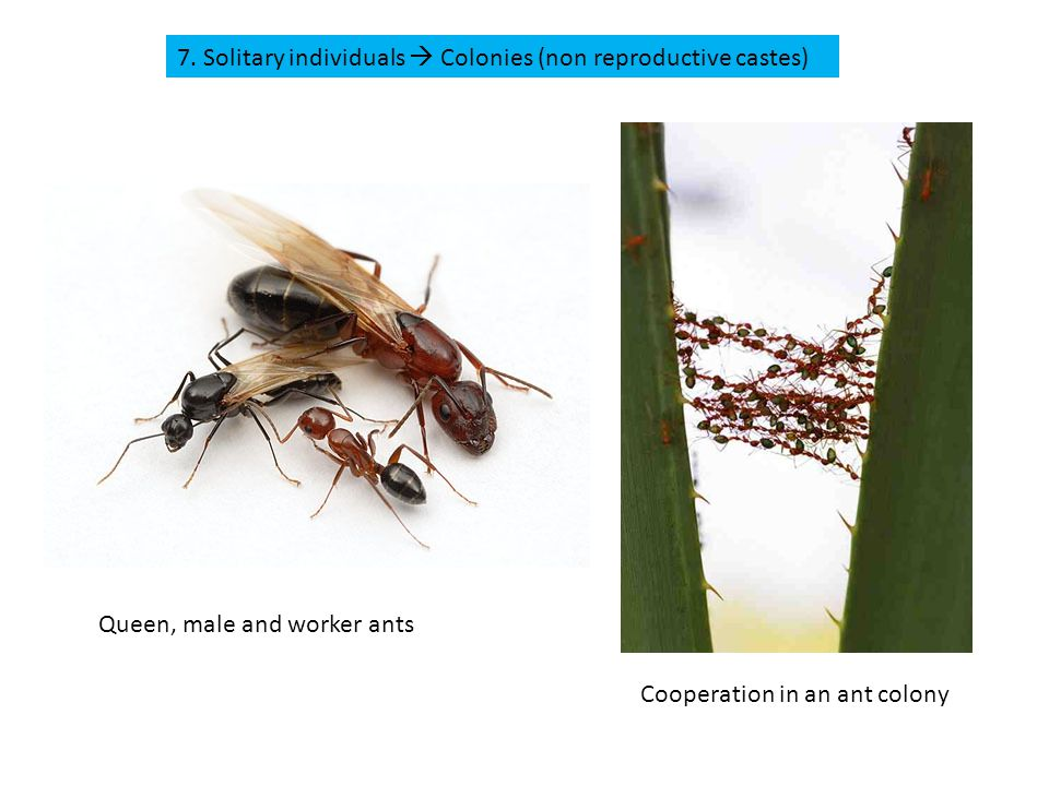 7. Solitary individuals  Colonies (non reproductive castes) Queen, male and worker ants Cooperation in an ant colony