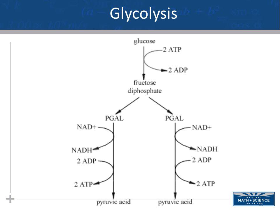 11 Glycolysis