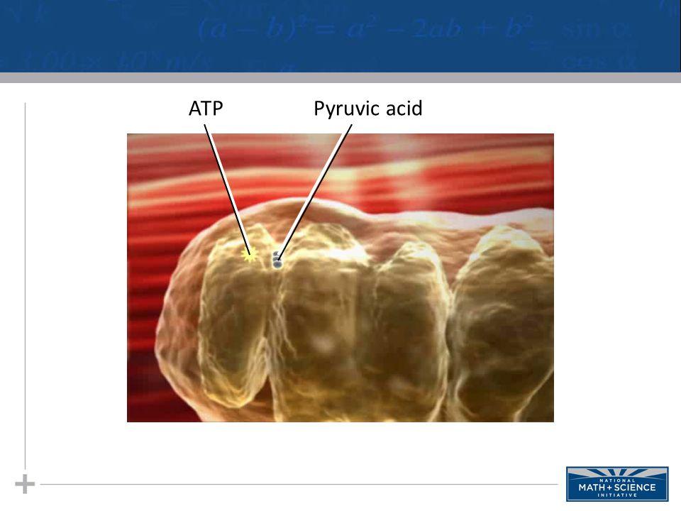 ATPPyruvic acid