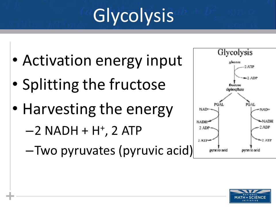 Glycolysis Activation energy input Splitting the fructose Harvesting the energy – 2 NADH + H +, 2 ATP – Two pyruvates (pyruvic acid)