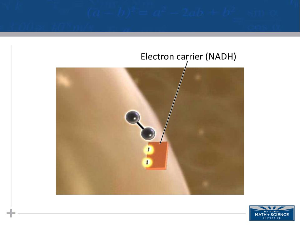 Electron carrier (NADH)