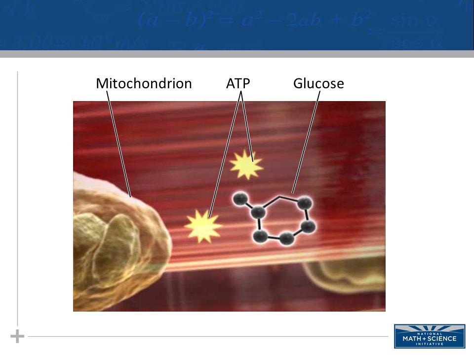 GlucoseATPMitochondrion