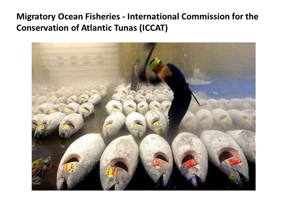 Migratory Ocean Fisheries - International Commission for the Conservation of Atlantic Tunas (ICCAT)