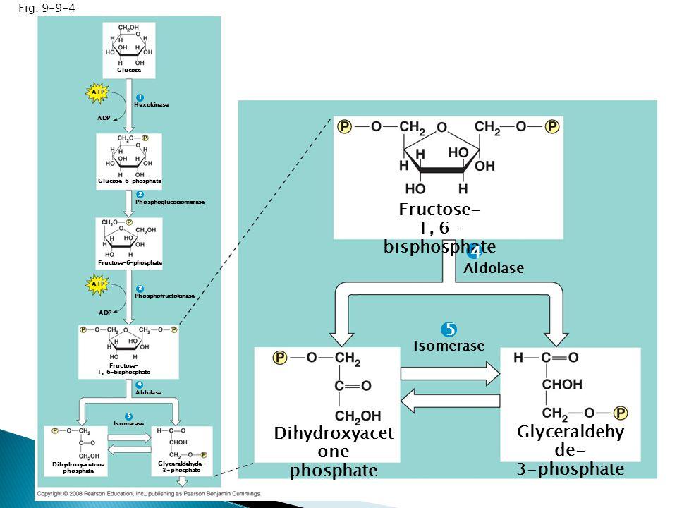 Fig. 9-9-4 Glucose ATP ADP Hexokinase Glucose-6-phosphate Phosphoglucoisomerase Fructose-6-phosphate ATP ADP Phosphofructokinase Fructose- 1, 6-bispho