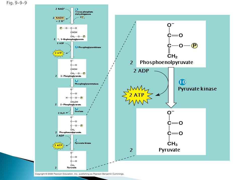Fig. 9-9-9 Triose phosphate dehydrogenase 2 NAD + NADH 2 2 2 2 2 2 2 ADP 2 ATP Pyruvate Pyruvate kinase Phosphoenolpyruvate Enolase 2 H 2 O 2-Phosphog