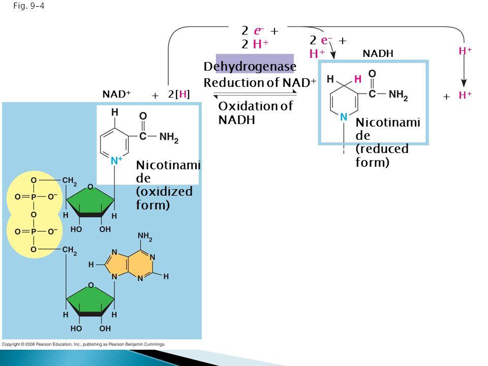 Fig. 9-4 Dehydrogenase Reduction of NAD + Oxidation of NADH 2 e – + 2 H + 2 e – + H + NAD + + 2[H] NADH + H+H+ H+H+ Nicotinami de (oxidized form) Nico
