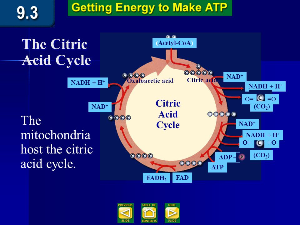 Section 9.3 Summary – pages 231-237 The citric acid cycle The citric acid cycle, also called the Krebs cycle, is a series of chemical reactions similar to the Calvin cycle in that the molecule used in the first reaction is also one of the end products.