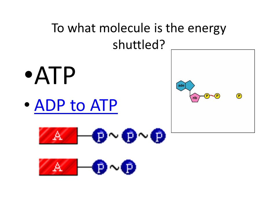 To what molecule is the energy shuttled ATP ADP to ATP anim anim ation ADP to ATP anim ation