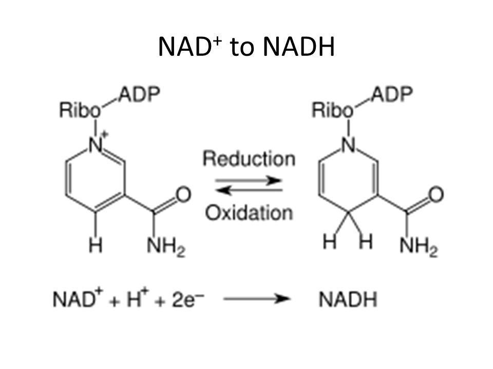 NAD + to NADH