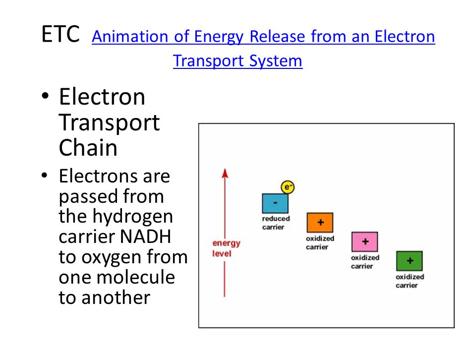 ETC Animation of Energy Release from an Electron Transport System Animation of Energy Release from an Electron Transport System Electron Transport Chain Electrons are passed from the hydrogen carrier NADH to oxygen from one molecule to another