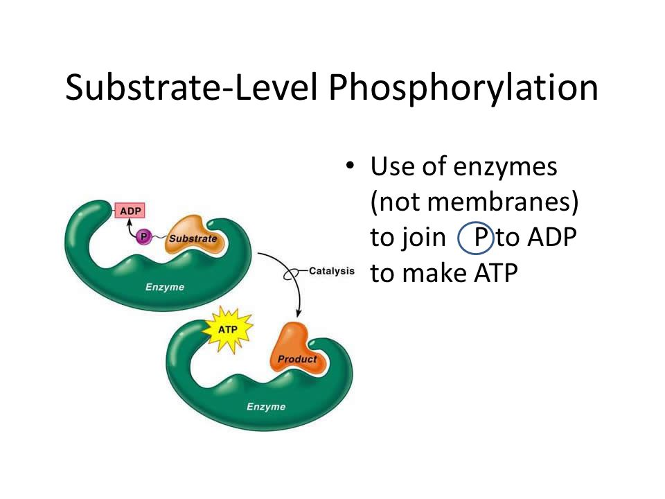 Substrate-Level Phosphorylation Use of enzymes (not membranes) to join P to ADP to make ATP