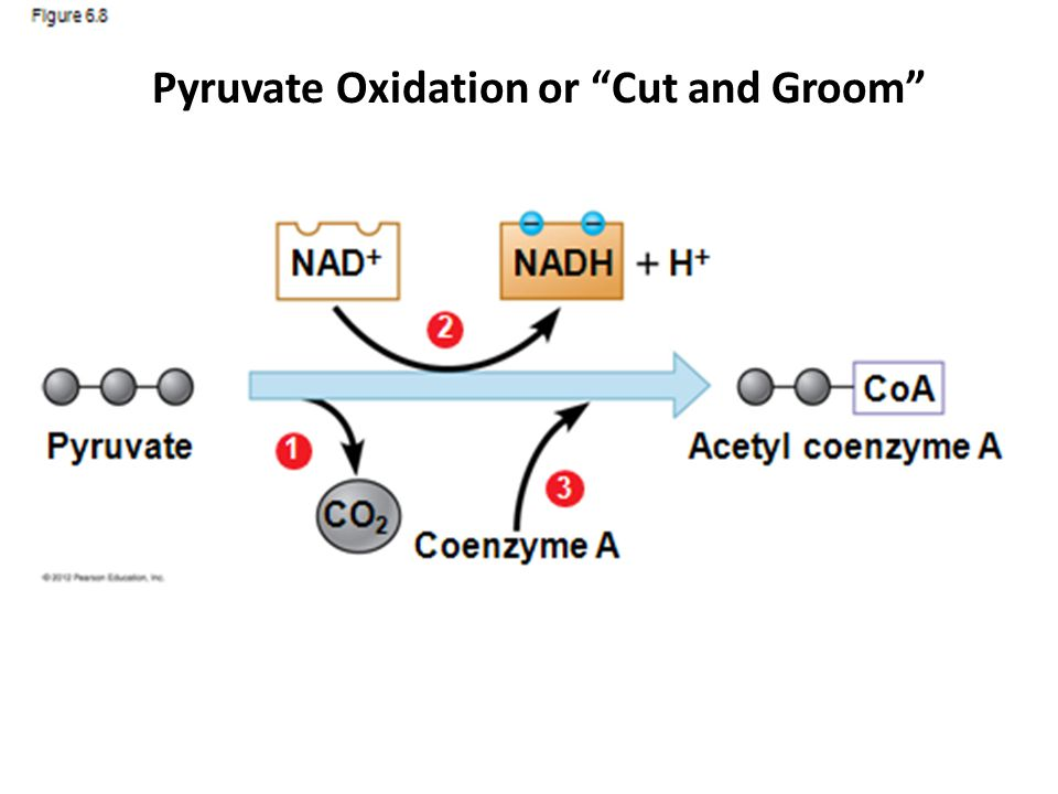 """Pyruvate Oxidation or """"Cut and Groom"""""""
