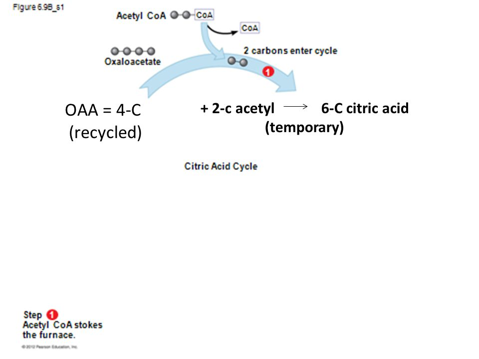 OAA = 4-C (recycled) + 2-c acetyl 6-C citric acid (temporary)