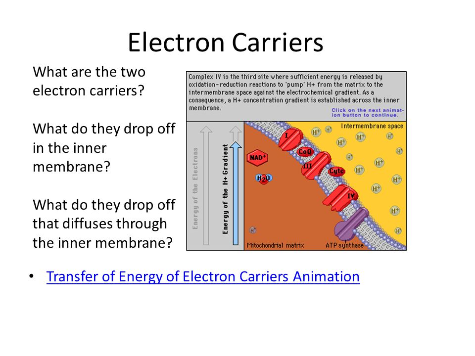 Electron Carriers Transfer of Energy of Electron Carriers Animation What are the two electron carriers? What do they drop off in the inner membrane? W