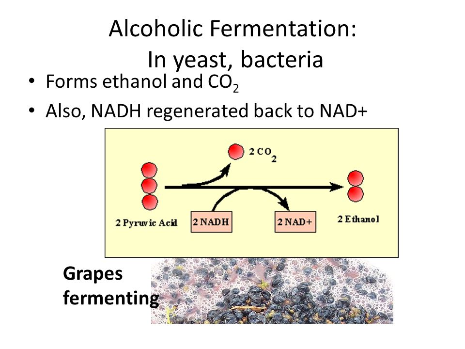 Alcoholic Fermentation: In yeast, bacteria Forms ethanol and CO 2 Also, NADH regenerated back to NAD+ Grapes fermenting
