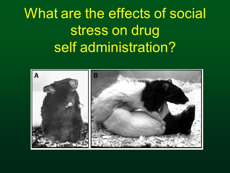 What are the effects of social stress on drug self administration