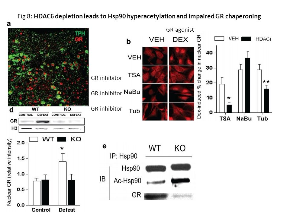 Fig 8: HDAC6 depletion leads to Hsp90 hyperacetylation and impaired GR chaperoning GR agonist GR inhibitor
