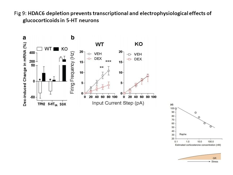 Fig 9: HDAC6 depletion prevents transcriptional and electrophysiological effects of glucocorticoids in 5-HT neurons