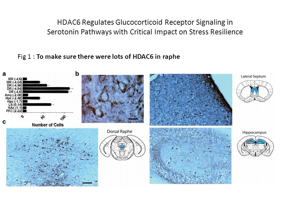 Fig 2: To make sure there were lots of HDAC6 in serotonin neuron Fig 3:Downregulated HDAC6 expression in the dorsal raphe of resilient and imipramine-treated mice (social defeat for 10d and imipramine injection for 28d)