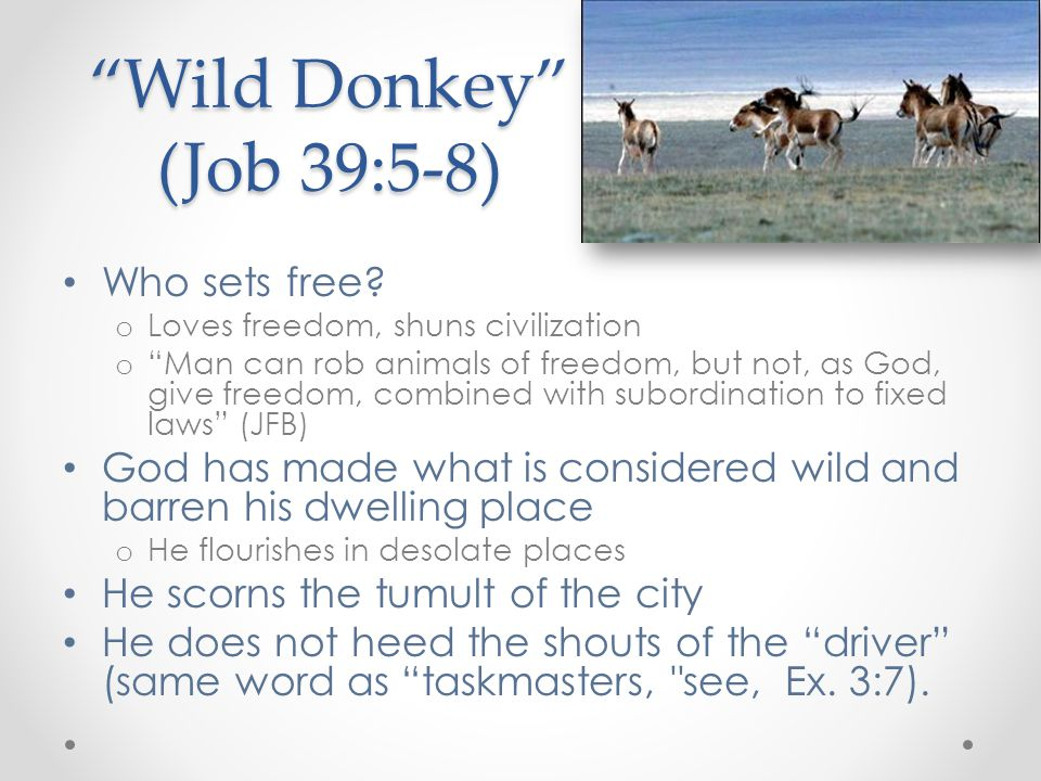 Wild Donkey (Job 39:5-8) Who sets free.