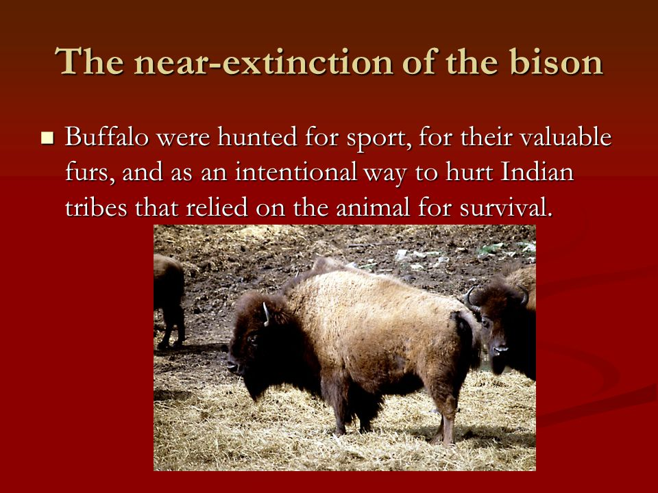 The near-extinction of the bison Buffalo were hunted for sport, for their valuable furs, and as an intentional way to hurt Indian tribes that relied o