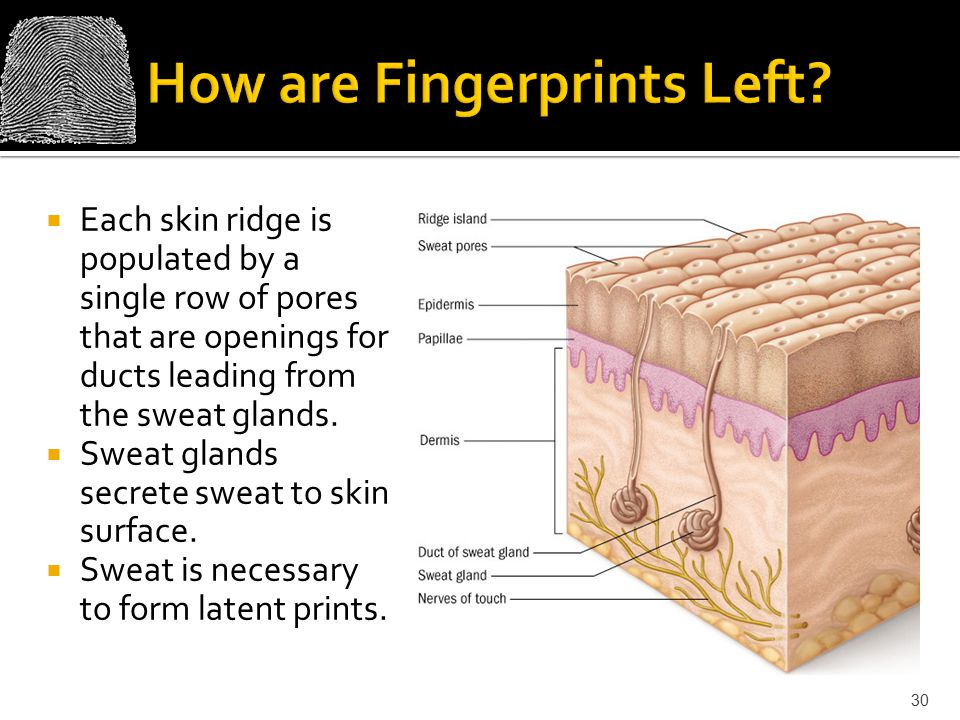  Each skin ridge is populated by a single row of pores that are openings for ducts leading from the sweat glands.