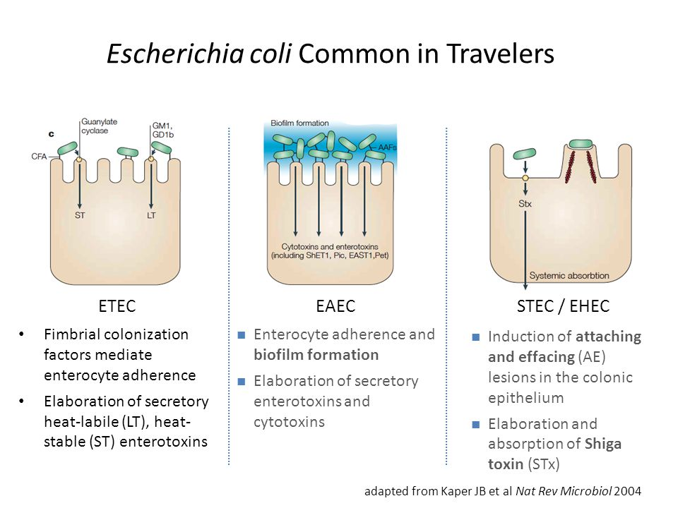 Escherichia coli Common in Travelers Fimbrial colonization factors mediate enterocyte adherence Elaboration of secretory heat-labile (LT), heat- stable (ST) enterotoxins adapted from Kaper JB et al Nat Rev Microbiol 2004 ETEC Enterocyte adherence and biofilm formation Elaboration of secretory enterotoxins and cytotoxins EAEC STEC / EHEC Induction of attaching and effacing (AE) lesions in the colonic epithelium Elaboration and absorption of Shiga toxin (STx)