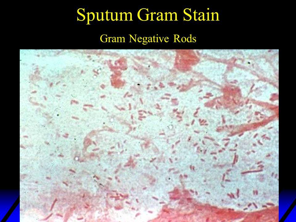 Sputum Gram Stain Gram Negative Rods