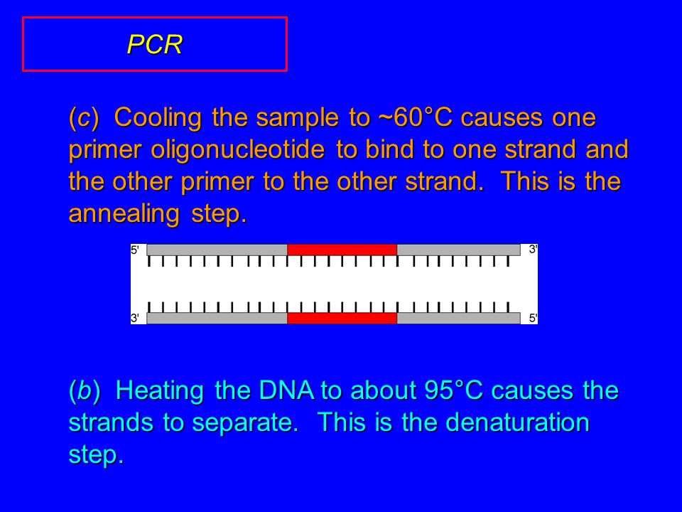 (c) Cooling the sample to ~60°C causes one primer oligonucleotide to bind to one strand and the other primer to the other strand.