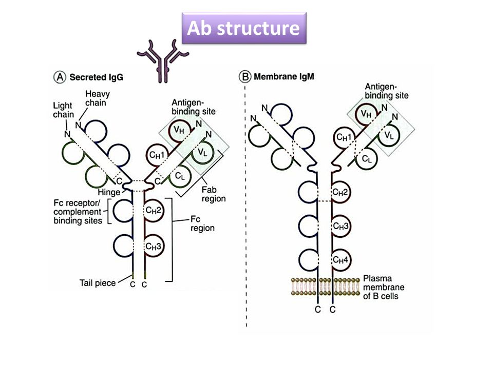 Ab structure