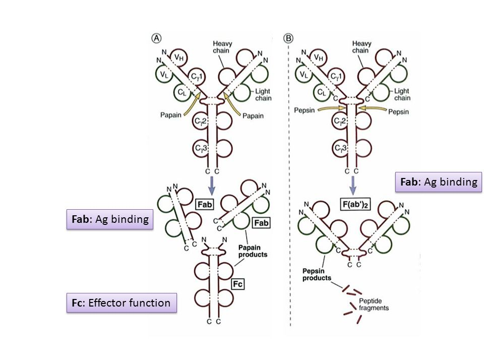 Fc: Effector function Fab: Ag binding
