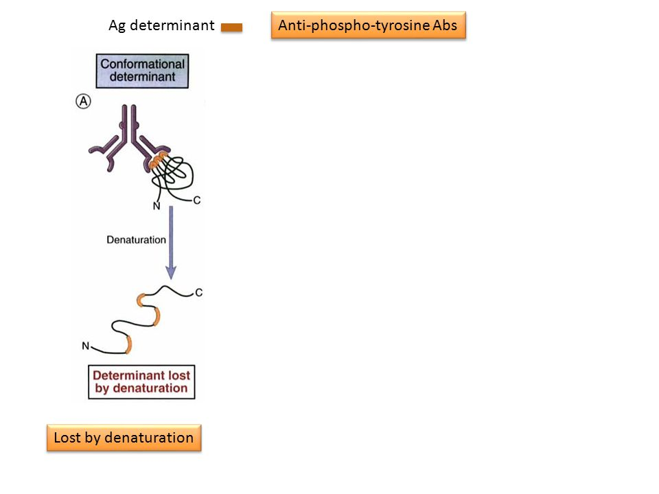 Ag determinant Lost by denaturation Gained by denaturation Proteolysis dependent Anti-phospho-tyrosine Abs