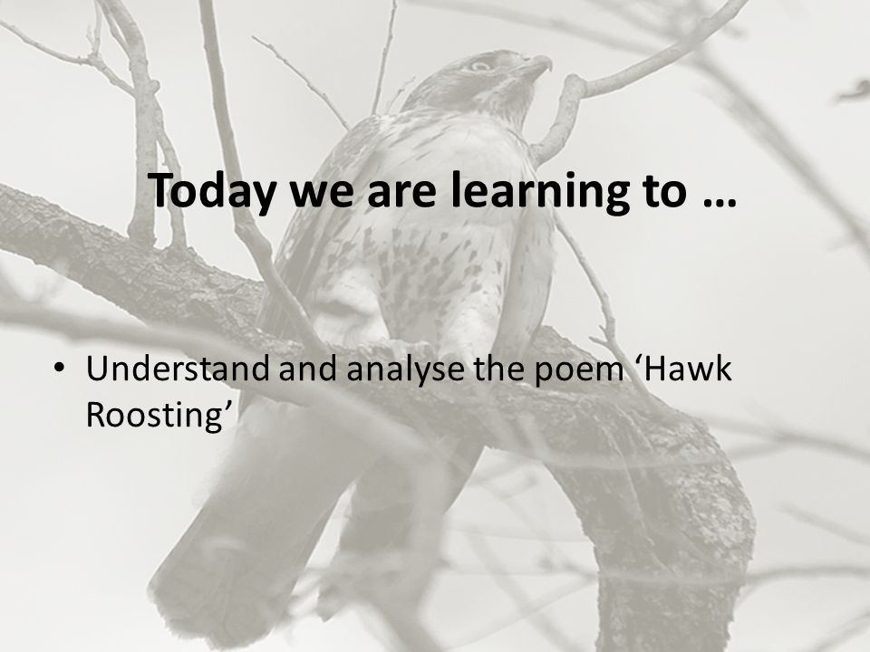 Today we are learning to … Understand and analyse the poem 'Hawk Roosting'