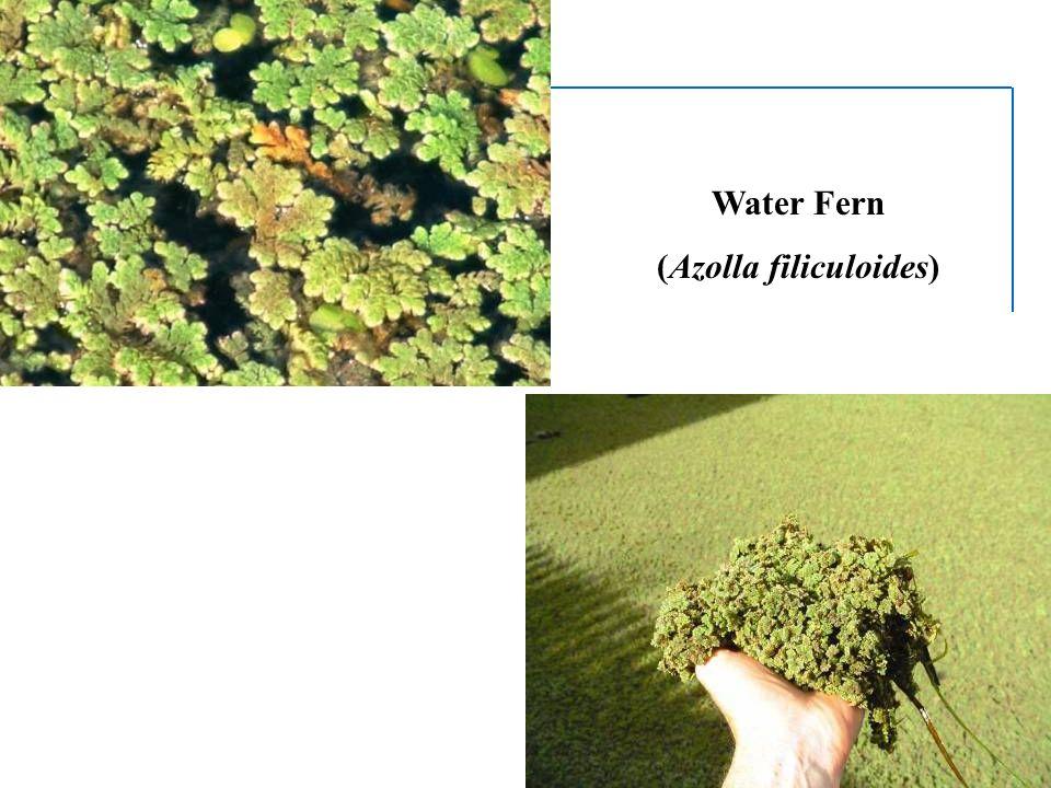 Water Fern (Azolla filiculoides)