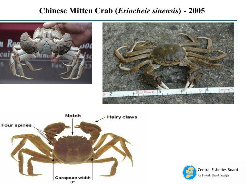 Chinese Mitten Crab (Eriocheir sinensis) - 2005