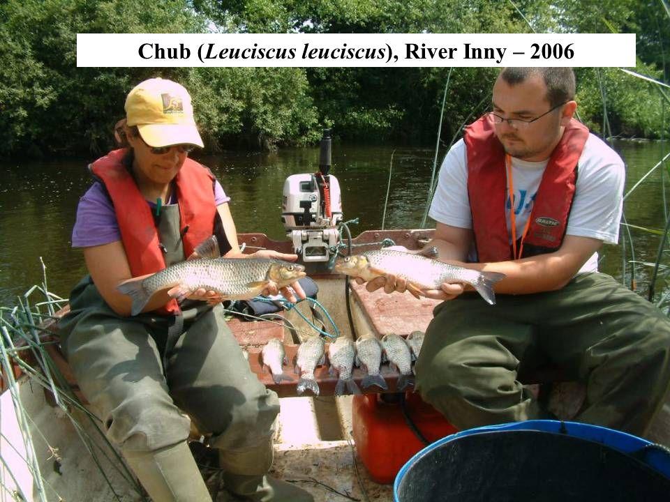 Chub (Leuciscus leuciscus), River Inny – 2006