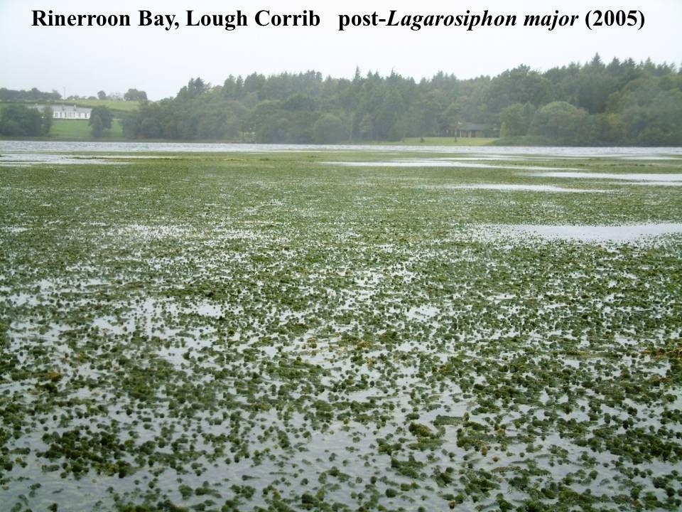 Rinerroon Bay, Lough Corrib post-Lagarosiphon major (2005)