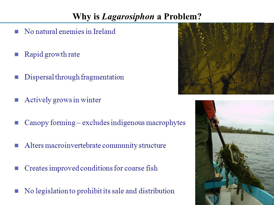 Why is Lagarosiphon a Problem.