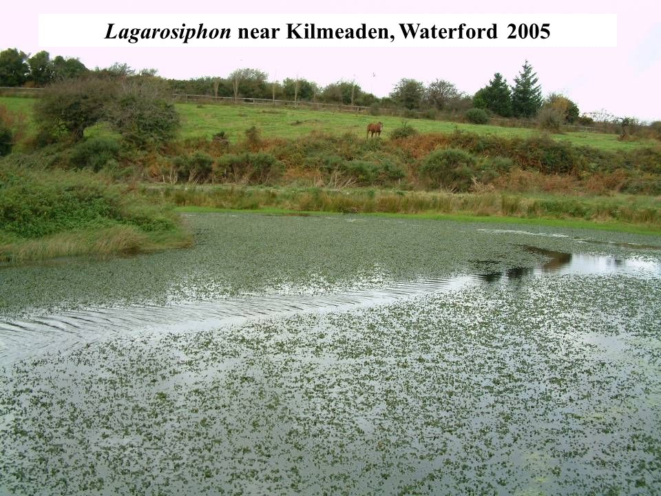 Mechanical Cutting in Lough Corrib Deep cut with trailing knives (V-blades) 10 infested sites treated in 2008 4,700 tonnes of Lagarosiphon removed 29.2 hectares of infested lake bed cleared