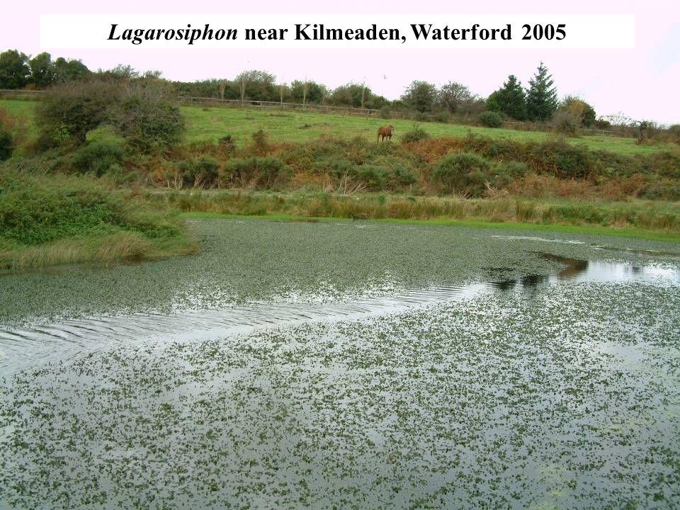 Lagarosiphon near Kilmeaden, Waterford 2005
