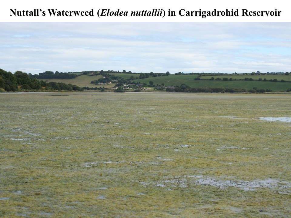 Nuttall's Waterweed (Elodea nuttallii) in Carrigadrohid Reservoir