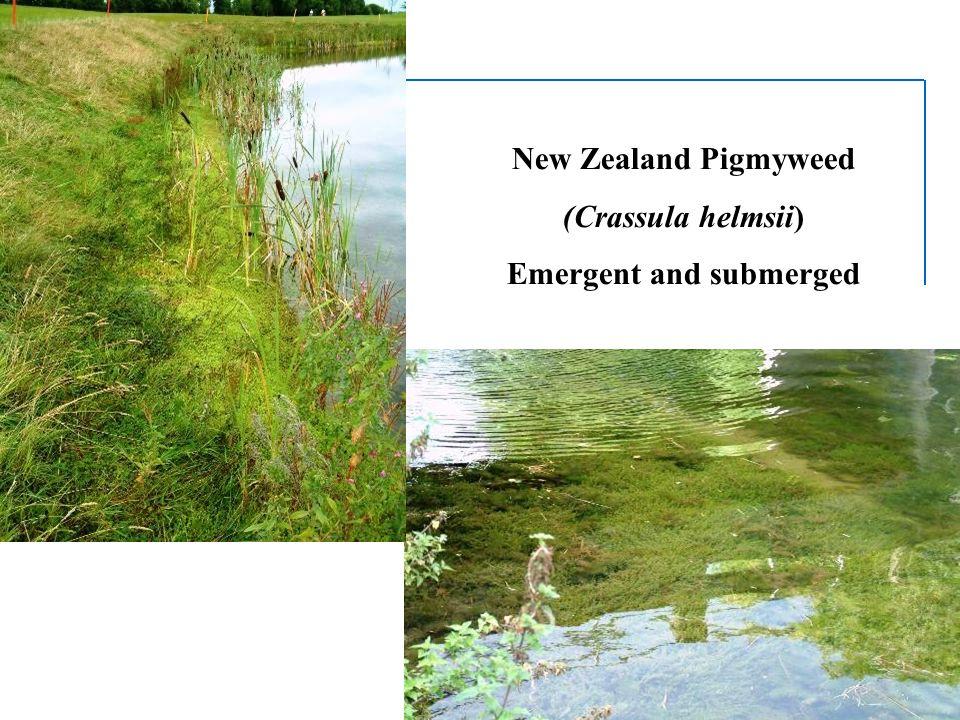 New Zealand Pigmyweed (Crassula helmsii) Emergent and submerged