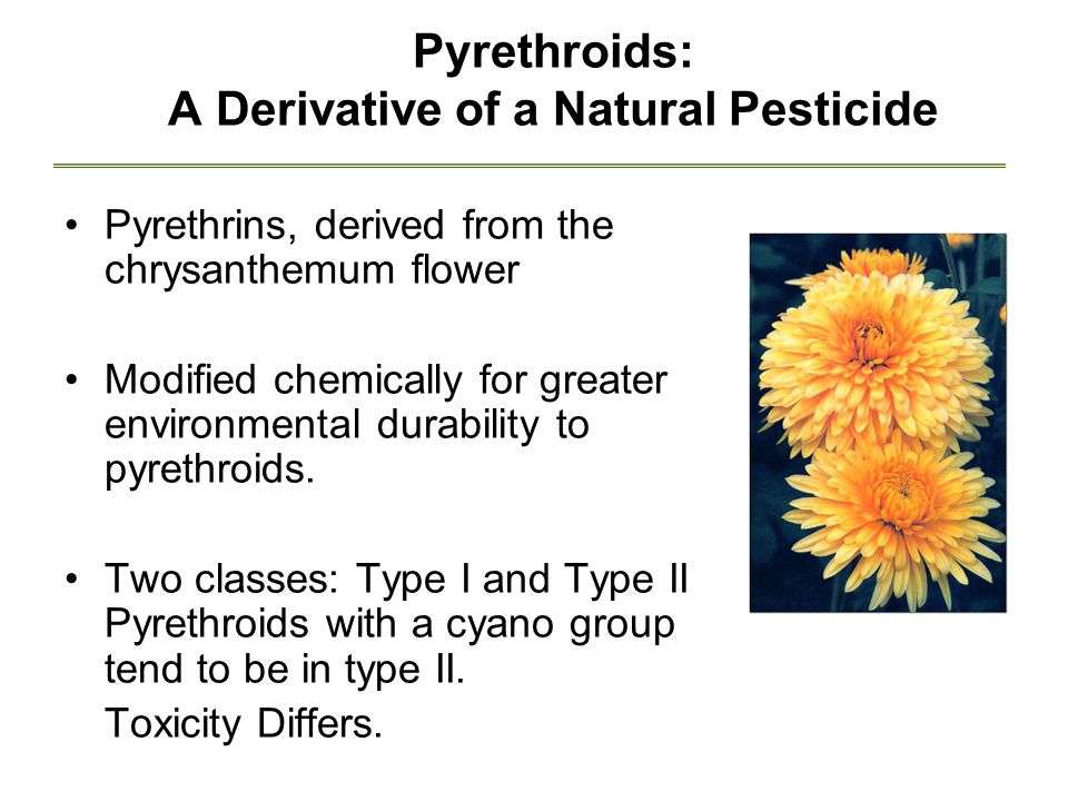 Pyrethroids: A Derivative of a Natural Pesticide Pyrethrins, derived from the chrysanthemum flower Modified chemically for greater environmental durability to pyrethroids.