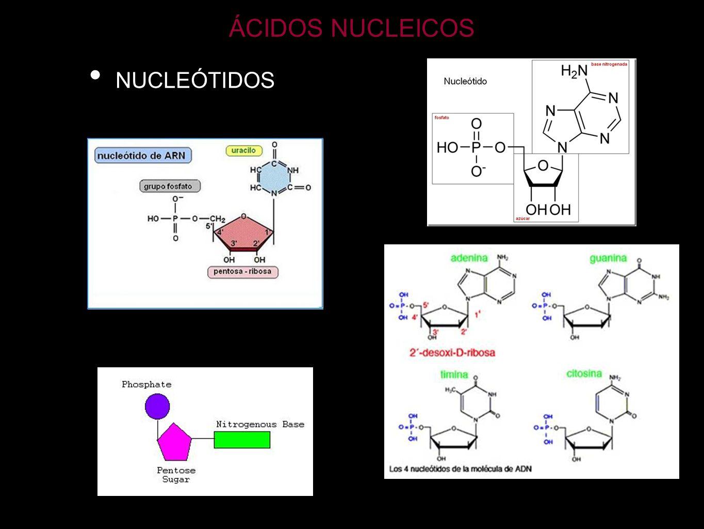 ÁCIDOS NUCLEICOS NUCLEÓTIDOS DERIVADOS (ATP) MOLÉCULA ENERGÉTICA ATP ADP + Pi + 7,3 kcal