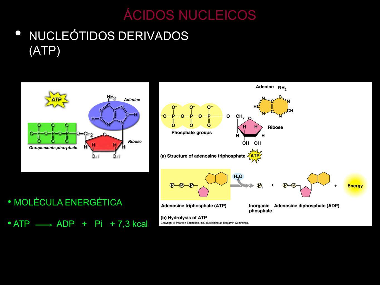 ÁCIDOS NUCLEICOS NUCLEÓTIDOS DERIVADOS (AMPc) MENSAJERO QUÍMICO INTRACELULAR Desencadena reacciones metabólicas como respuesta a la llegada de determinadas señales (hormonas) a la membrana.