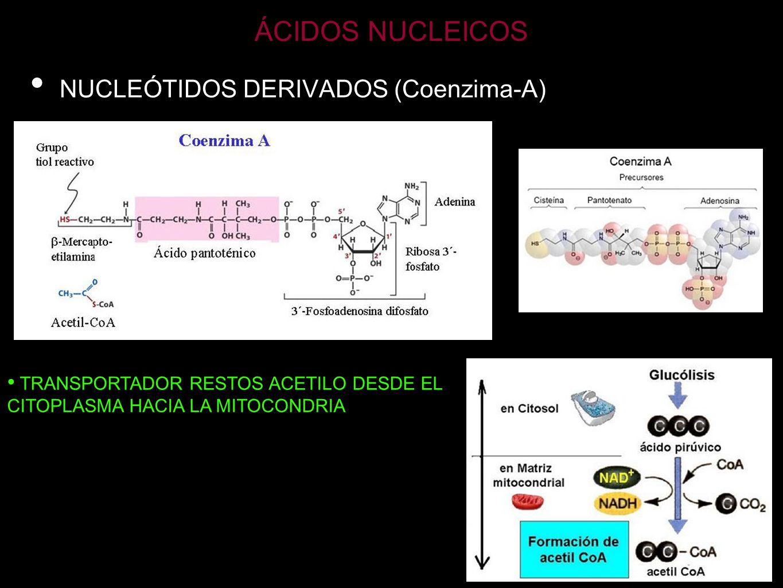 ÁCIDOS NUCLEICOS NUCLEÓTIDOS DERIVADOS (NAD Y NADP) NADP+NAD+ COENZIMAS DE REACCIONES DE ÓXIDO-REDUCCIÓN