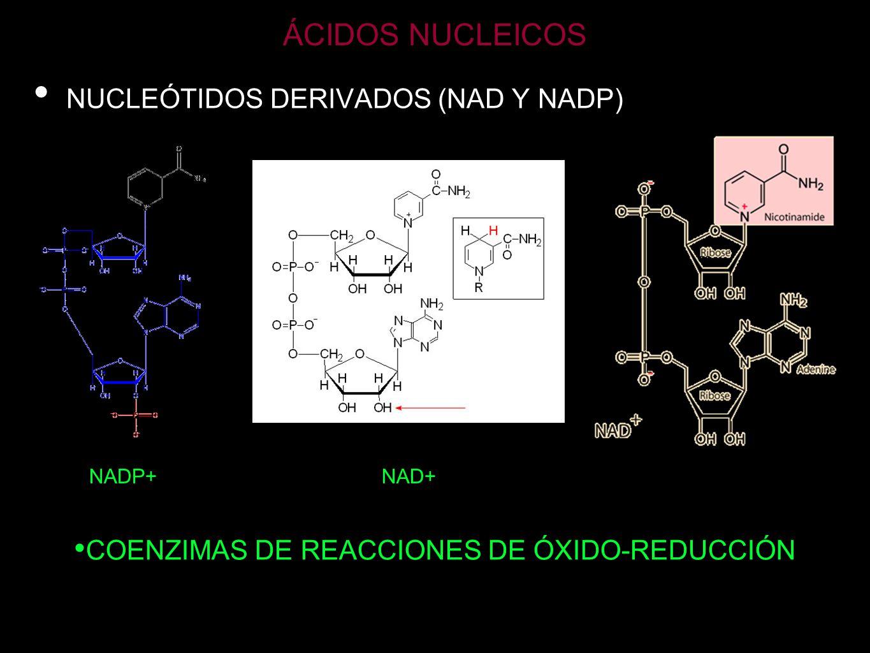 ÁCIDOS NUCLEICOS NUCLEÓTIDOS DERIVADOS (FAD) Coenzima responsable de reacciones rédox de la célula