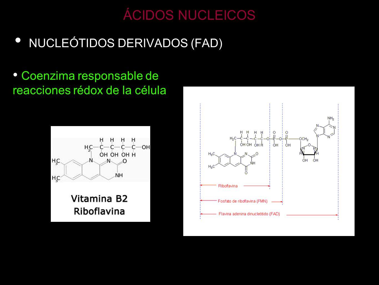 ÁCIDOS NUCLEICOS ARN-t Transporta los aminoácidos para la síntesis de proteínas Es el ARN más pequeño Monocatenario aunque presenta regiones en doble hélice por complementariedad de bases Zonas de no complementariedad forma bucles o lazos Brazo anticodón