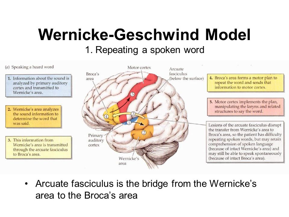 Wernicke-Geschwind Model 1. Repeating a spoken word Arcuate fasciculus is the bridge from the Wernicke's area to the Broca's area